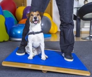 Hund auf Wackelbrett - Hundephysietherapie