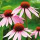Echinacea - Roter Sonnenhut auf grüner Wiese